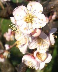 梅の花、見頃になりました。