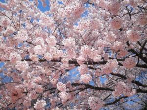 2010桜1
