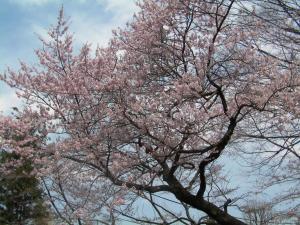 先週の桜300
