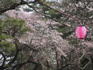 桜と提灯300