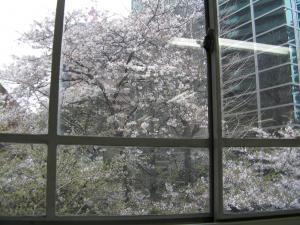 教室からの桜300
