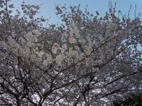 BL110403花見ラン9RIMG0121