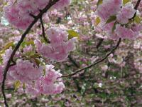 BL110423桜通1RIMG0627