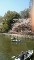碑文谷公園の桜