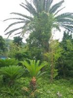 館山のちびヤシの木