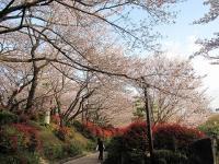 飛鳥山公園の桜06