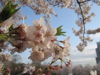 飛鳥山公園の桜09