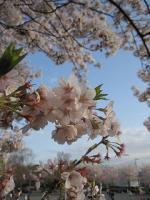 飛鳥山公園の桜03