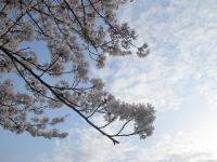 飛鳥山公園の桜05