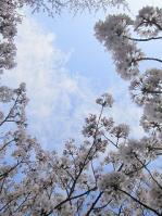 飛鳥山公園の桜02