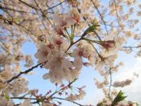 飛鳥山公園の桜07