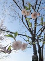 飛鳥山公園の桜01