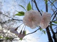 飛鳥山公園の桜08