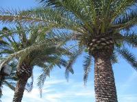 CA海旅行_ヤシの木