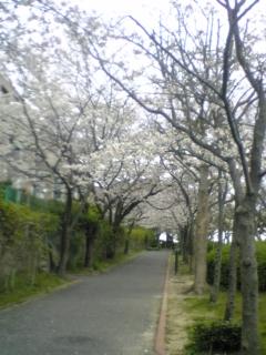 帰り道の桜のトンネル