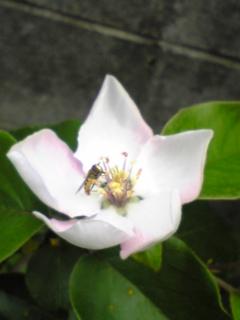 マルメロの花とハチ2