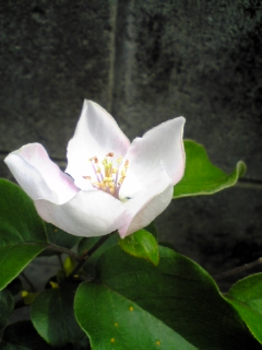 マルメロの花4