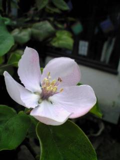マルメロの花5