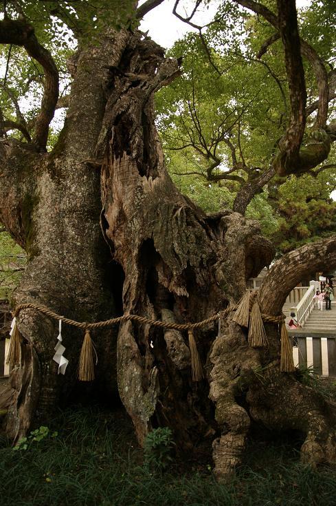 樹齢2600年の大楠。迫力あります^^