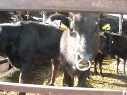 途中、牛さんに挨拶