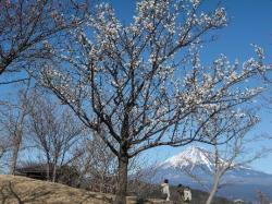 新富士の梅