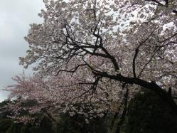 そめいよしのは散りましたが牡丹桜が咲いてきました