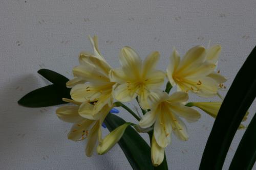 黄花クンシラン2