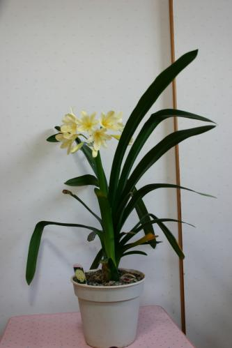 黄花クンシラン1
