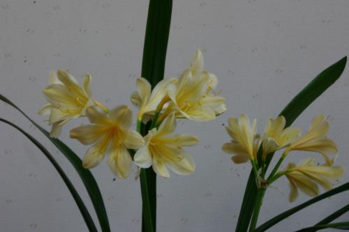 黄花クンシラン3