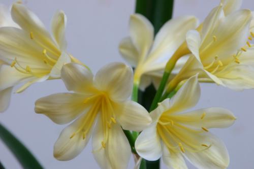 黄花クンシラン4