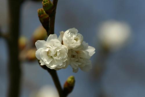 白い花 1