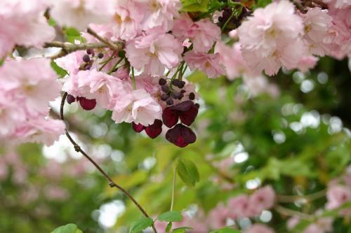 八重桜 3