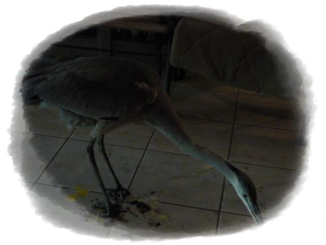 青鷺のピンチ