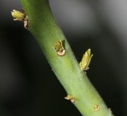 アボカドンの芽