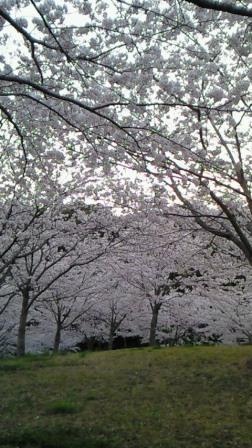 2011.4桜3