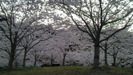2011.4桜2