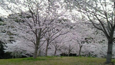 2011.4桜