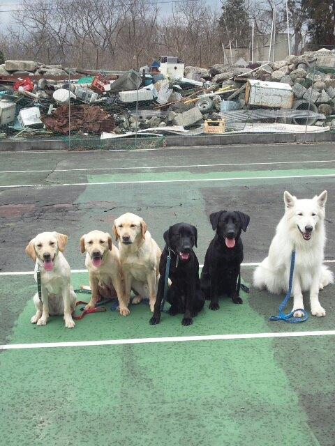 アンバーくんの災害救助犬の様子