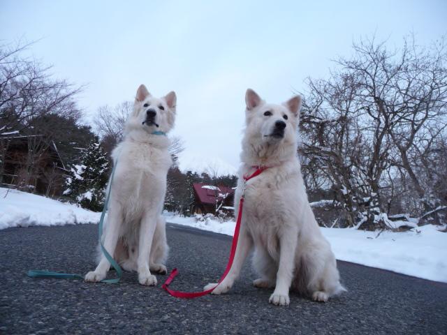 ホワイトスイスシェパード★エース★&★リサ★親子