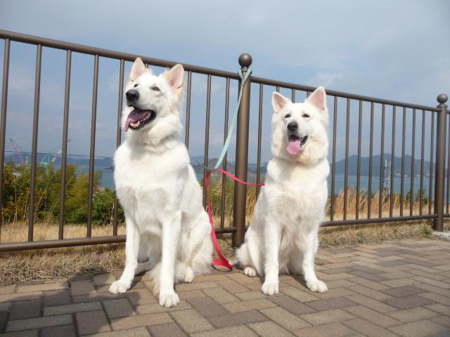 ホワイトスイスシェパード★エース★&★リサ★しまなみ海道