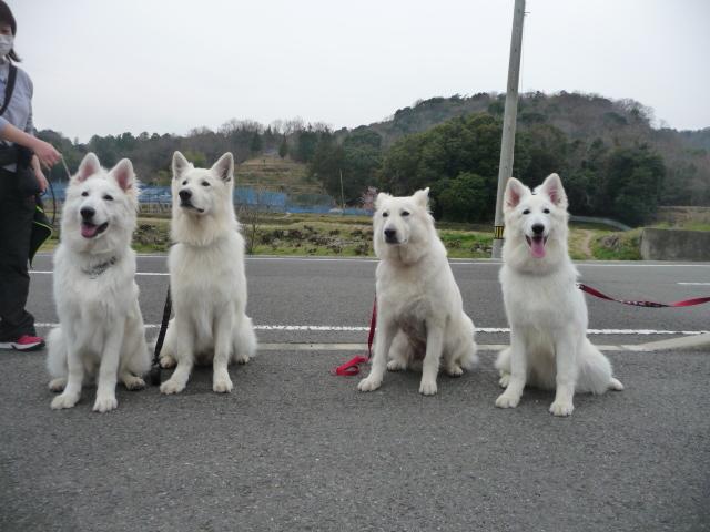 ホワイトスイスシェパード★マロ★&★ジャンゴくん★&★リサ★&★ラン★