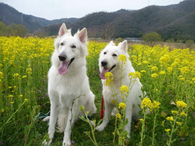 菜の花畑★エース★&★リサ★