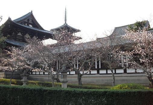 法隆寺の桜・開花状況 1
