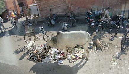 19 ゴミと牛