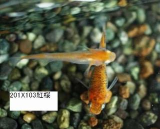 紅桜X小倉錦