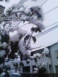 オオデマリと雪