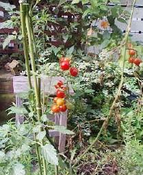 かわいいミニトマトです