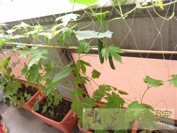 2011年緑のカーテン初収穫