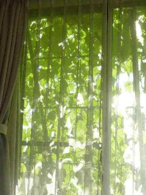 グリーンカーテン01