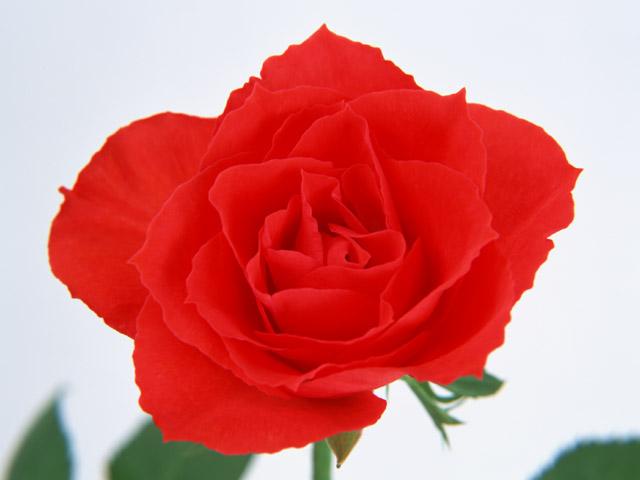 バラが咲いた~バラが咲いた~真っ赤なバラ~が~♪